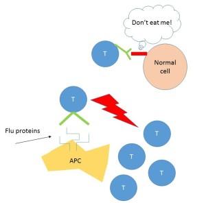 immune system schema
